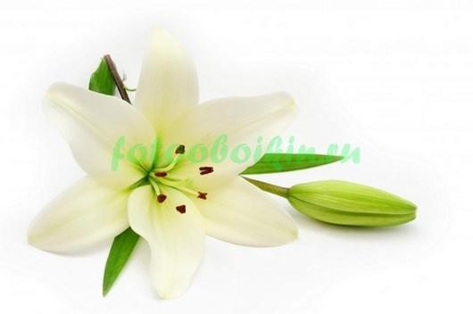 Фотообои белая лилия и бутон