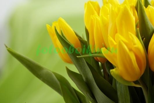 Фотообои Желтые тюльпаны