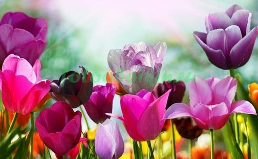 Фотообои Разноцветные тюльпаны