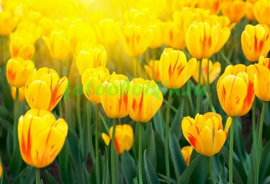 Фотообои Клумба желтых тюльпанов
