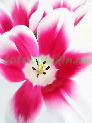 Фотообои бело-розовый тюльпан