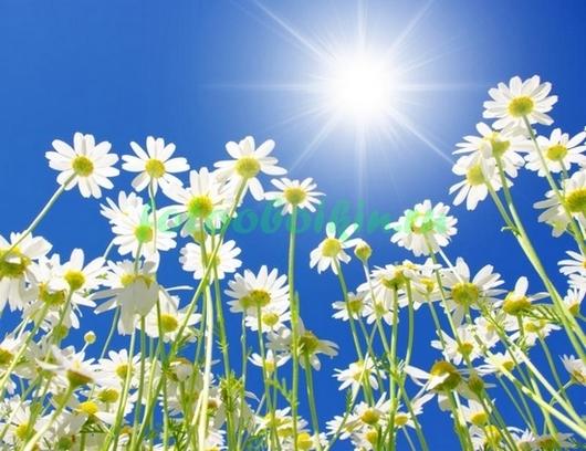 Фотообои Ромашки и солнце