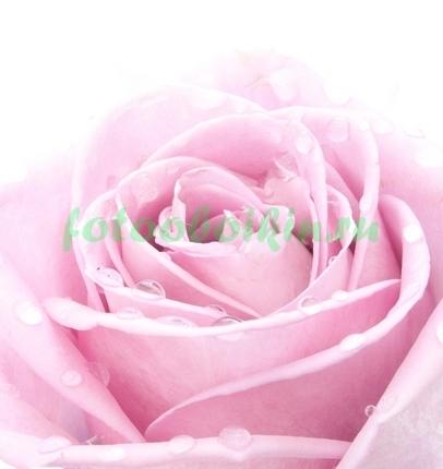 Фотообои Роса на лепестках розы