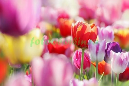 Фотообои Поле разноцветных  тюльпанов