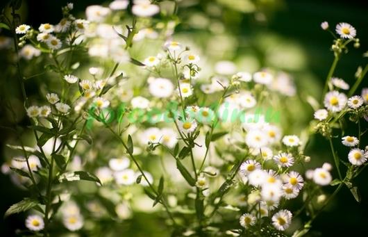 Фотообои Красивые ромашки