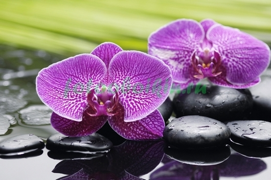 Фотообои Розовая орхидея с прожилками и галькой