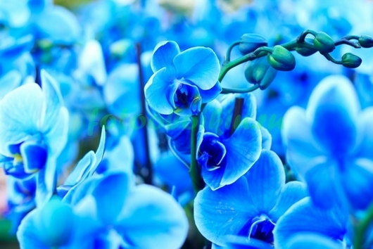 Фотообои Голубые орхидеи