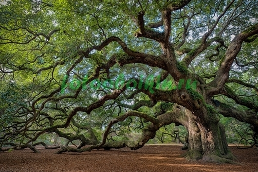 Фотообои Старый дуб