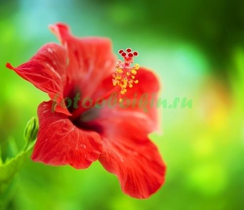 Фотообои Красная лилия