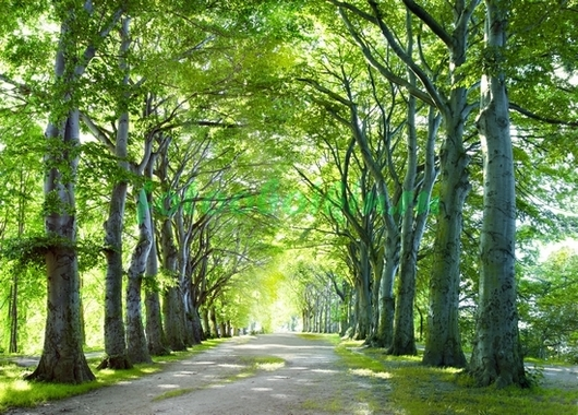 Фотообои Зелёная аллея