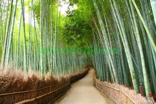 Фотообои Тропинка в бамбуке