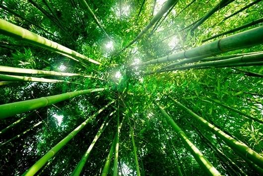 Фотообои Бамбук тянется к небу