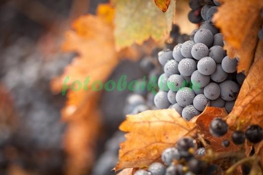 Фотообои Виноградная лоза