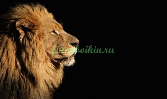 Фотообои Лев на черном фоне