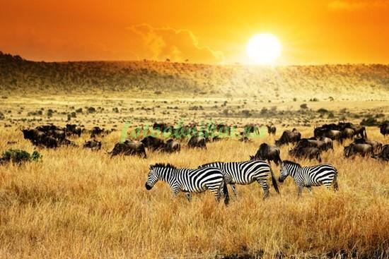 Фотообои Прогулка зебр