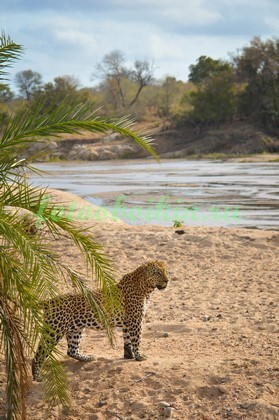 Фотообои Леопард на берегу
