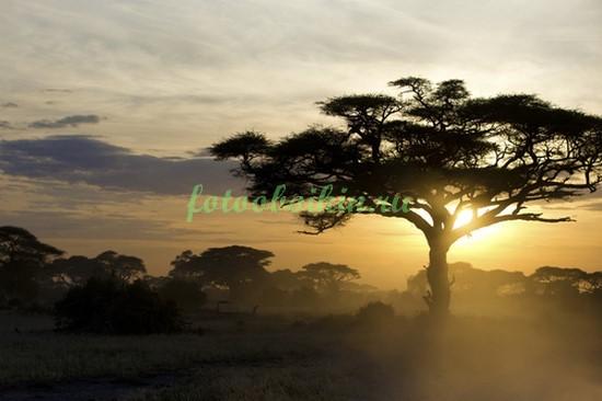 Фотообои Африканская акация