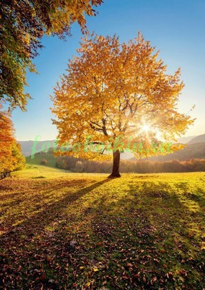 Фотообои Желтый клен
