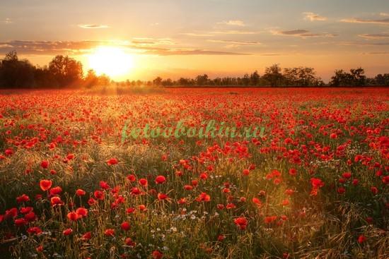 Фотообои Закат солнца в маковом поле