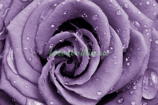 Фотообои Капли на розе