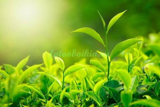 Листья чая