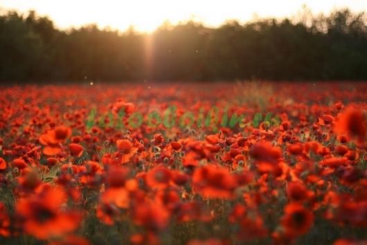Фотообои Красное маковое поле