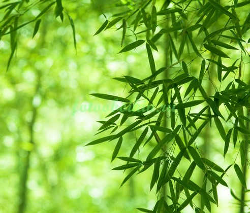 Листья бамбука