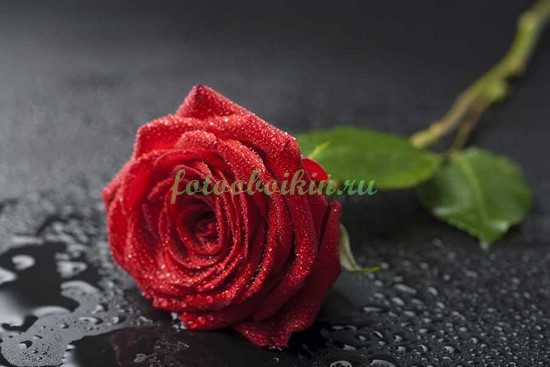 Фотообои Алая роза на черном фоне