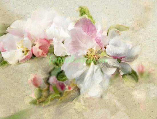 Цветы сакуры макро