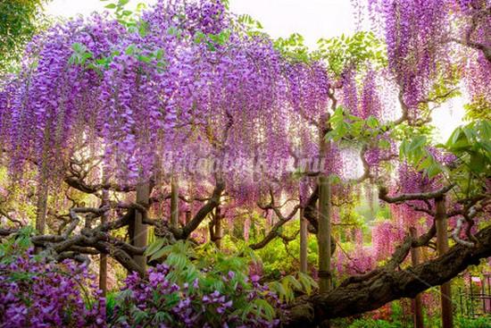 Вестерия цветы