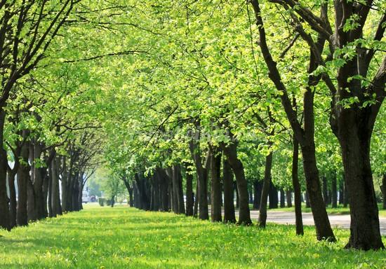 Зеленая аллея весной