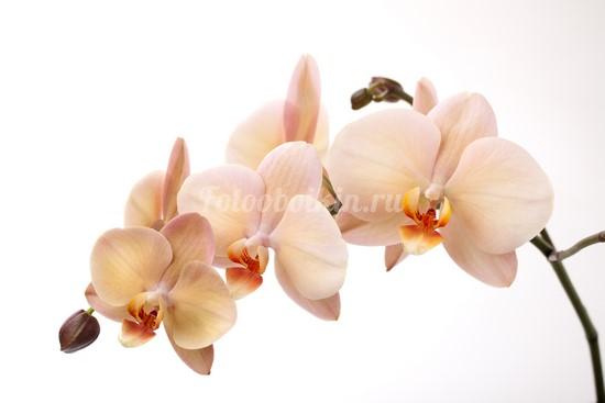 Бежевая орхидея на ветке