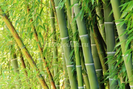 Бамбук стволы деревьев