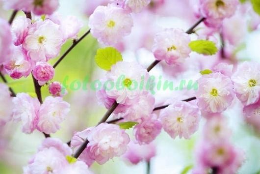 Фотообои Живописная сакура