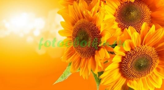 Фотообои Оранжевые подсолнухи