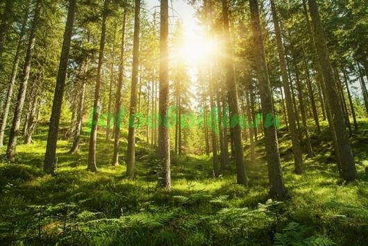 Фотообои Рассвет в лесу