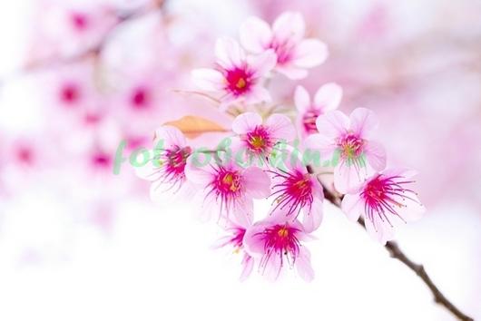 Фотообои Розовая сакура