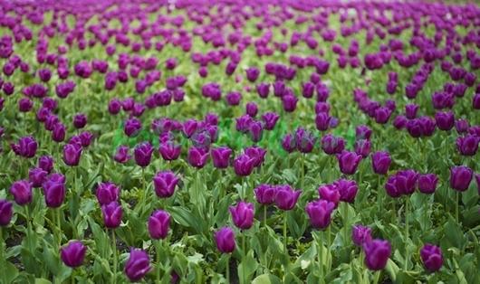 Фотообои Сиреневые тюльпаны
