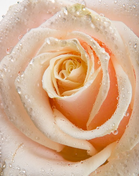 Фотообои Роза с каплями