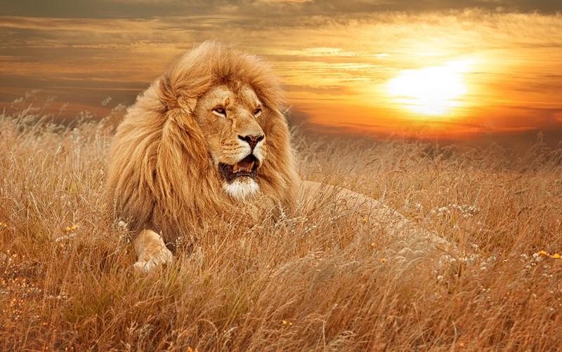 Со львом