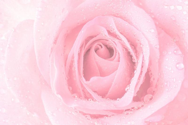 Фотообои Фото роза