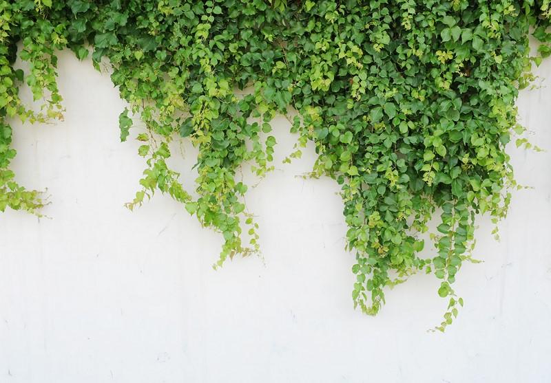 Фотообои Зелёный плющ