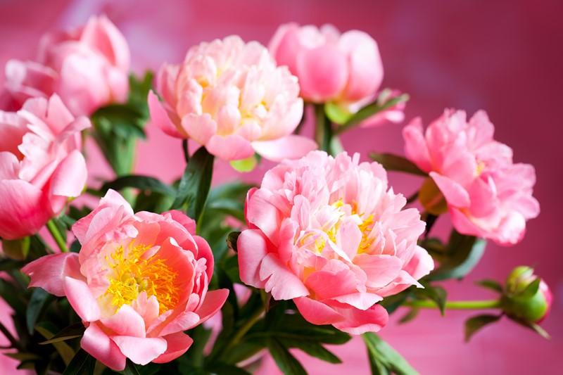 Фотообои Цветущие пионы