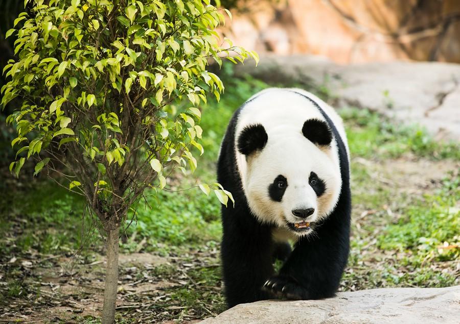 Фотообои Маленькая панда