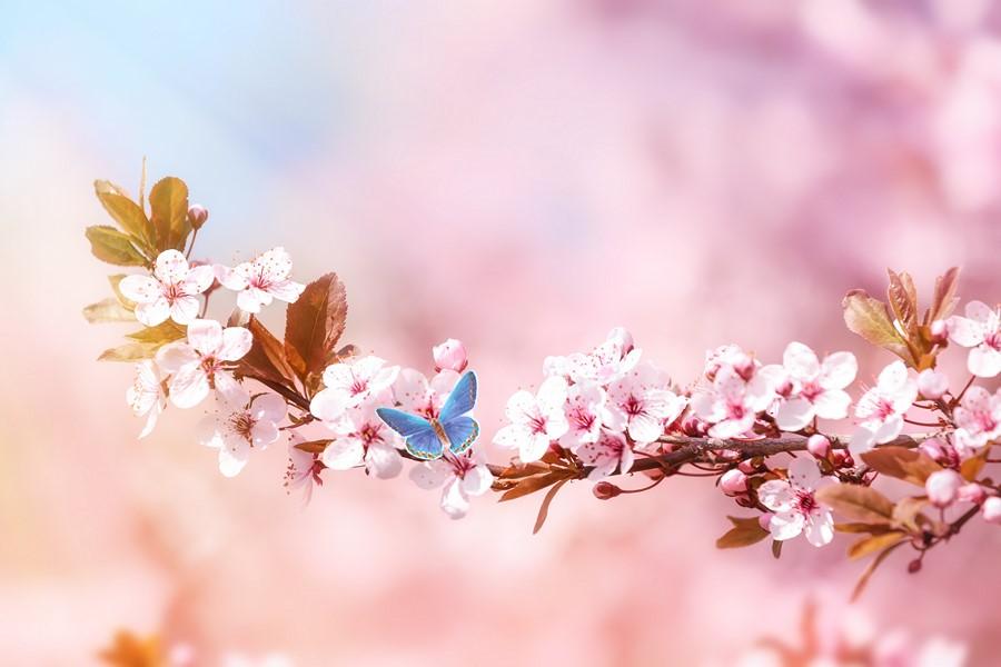 Фотообои Ветви сакуры
