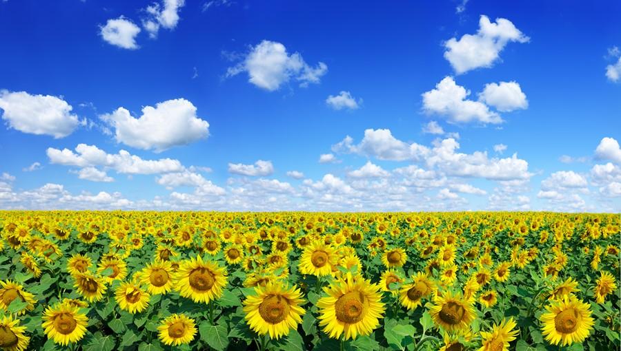 Фотообои Солнечные цветы