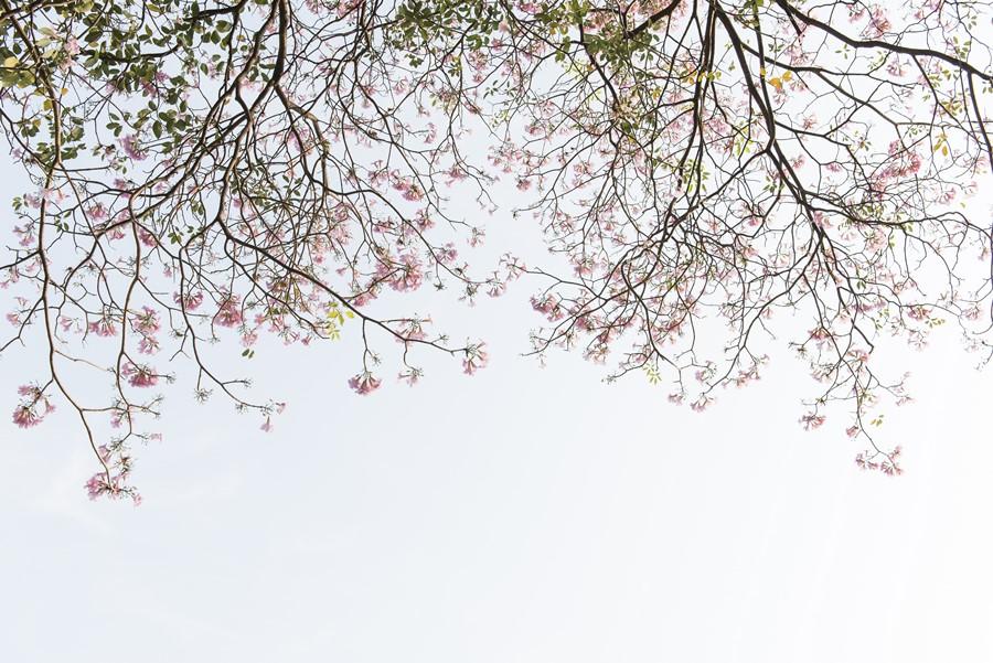 Фотообои Цветки вишни