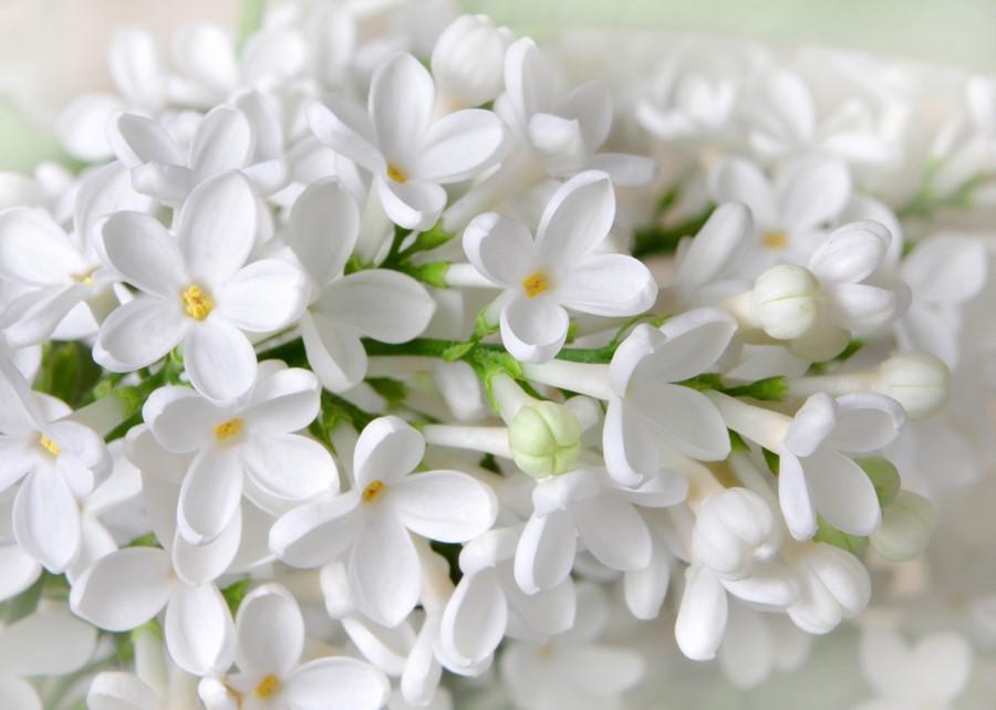 Фотообои Цветы белой сирени