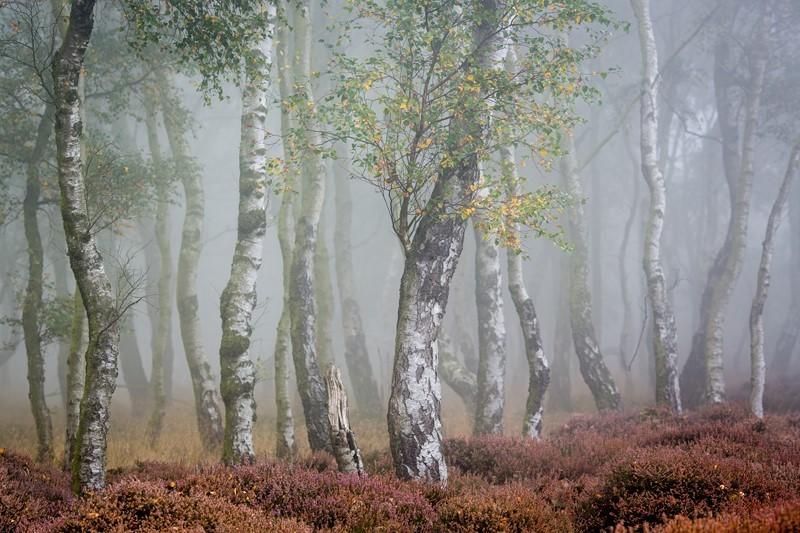 Фотообои Берёзы в тумане