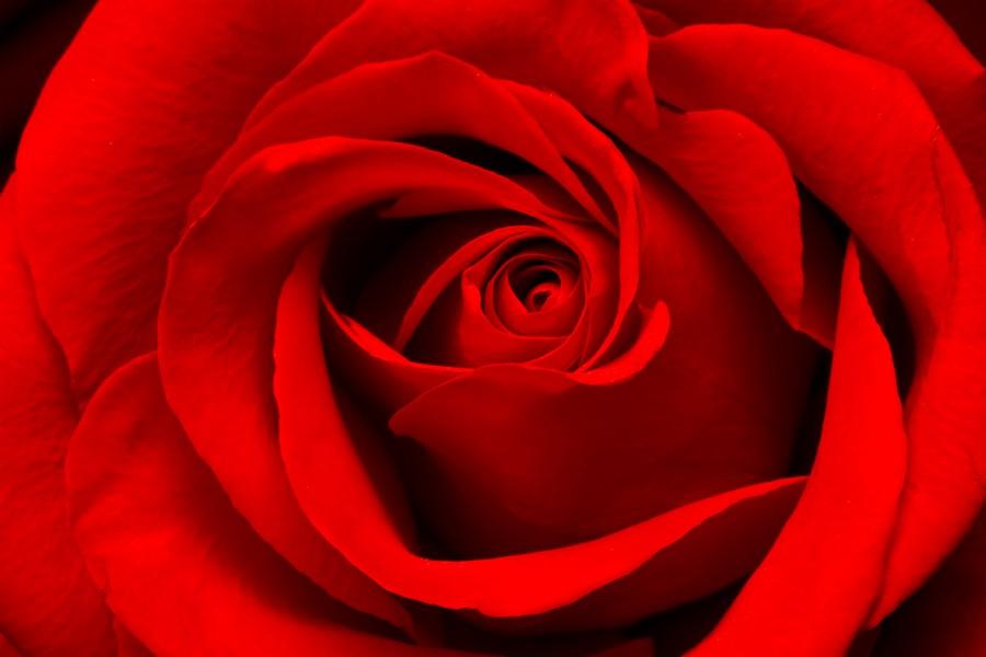Фотообои Бутон розы